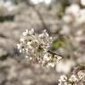 PENTAX PENTAX K10Dで撮影した植物(明石公園の桜)の写真(画像)