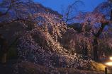 京都府立植物園 枝垂桜