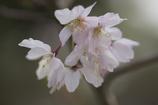 大阪城 枝垂桜