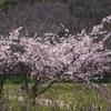 長居植物園 桜