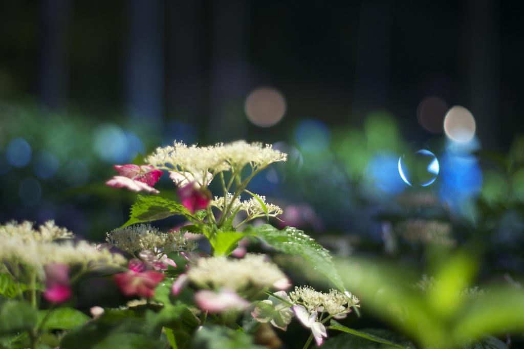 三室戸寺 紫陽花 ライトアップ