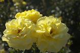 京都府立植物園 バラ