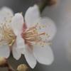 長居植物園 梅