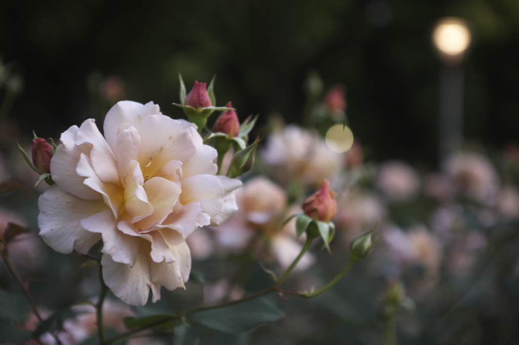 靱公園 バラ