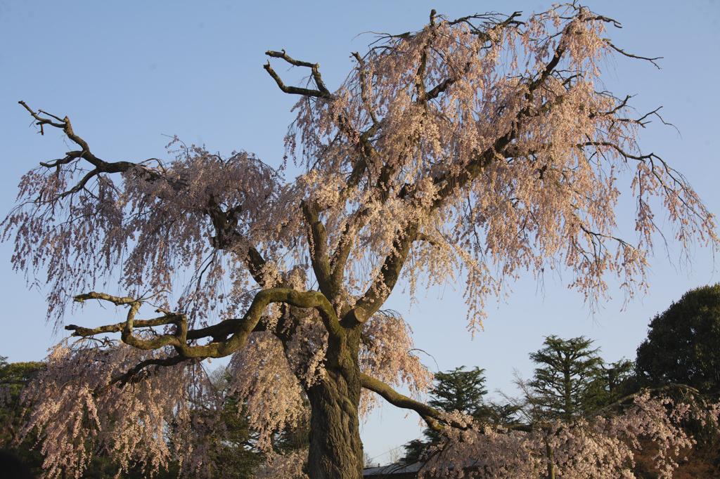 祇園枝垂桜