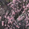 万博公園 梅まつり
