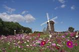 鶴見緑地 コスモスと風車