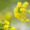 長居植物園 菜の花