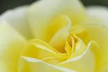 長居植物園 バラ