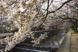2010 夙川 桜