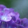 万博記念公園 紫陽花