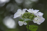 六甲森林植物園 紫陽花