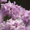 長居植物園 石楠花