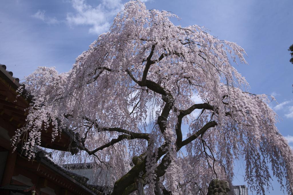 奈良 氷室神社 枝垂桜