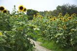 長居植物園 向日葵