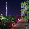 亀戸天神の藤と東京スカイツリー粋