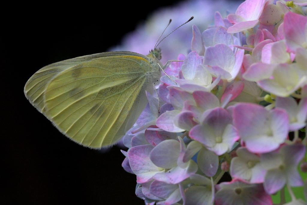 紫陽花とモンシロチョウ