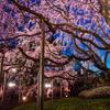 東京・六義園のしだれ桜ライトアップ