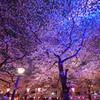 目黒川桜まつり提灯ライトアップ