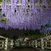 亀戸天神社 藤のライトアップ