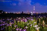 東京スカイツリー「雅」と花菖蒲