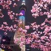 東京スカイツリーと河津桜(ラブリーショコラ)