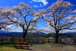 羊山公園の桜1