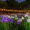 しょうぶ沼公園・花菖蒲のライトアップ