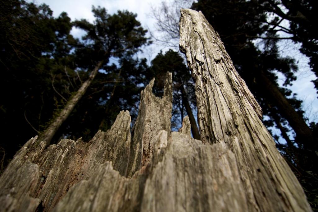 枯れた巨木