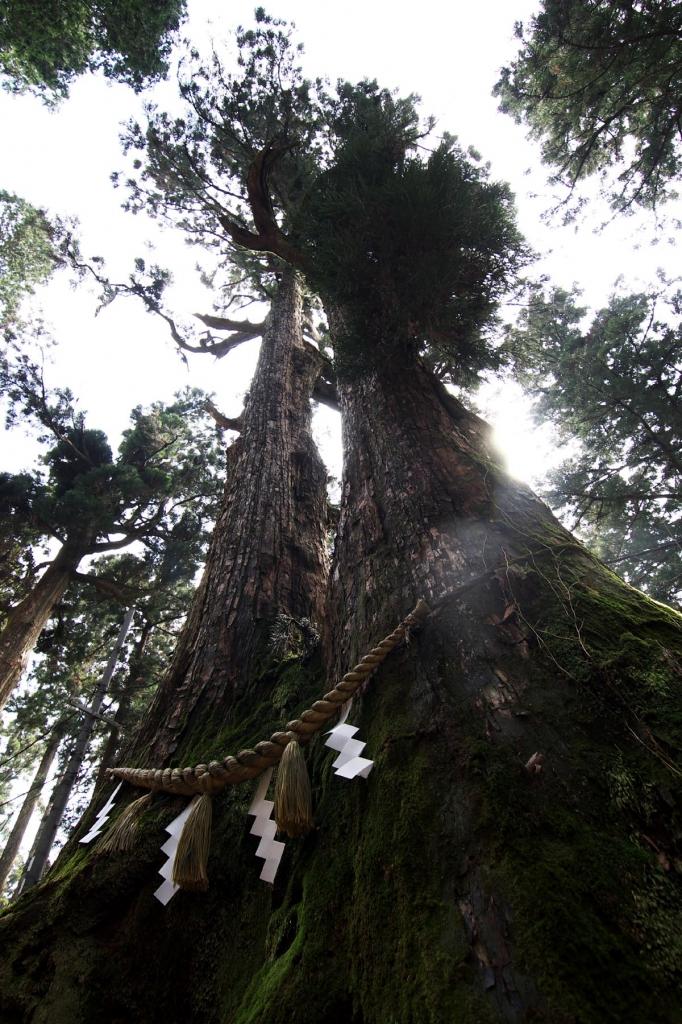 金剛山山頂付近にある神木