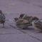3羽の子雀