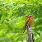 PENTAX PENTAX K20Dで撮影した動物(赤翡翠)の写真(画像)