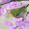 PENTAX PENTAX K20Dで撮影した動物(桜とメジロ)の写真(画像)
