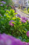 晴れ 紫陽花