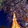 TOKYO 桜 2015