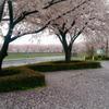 プレゼントをくれた桜の木