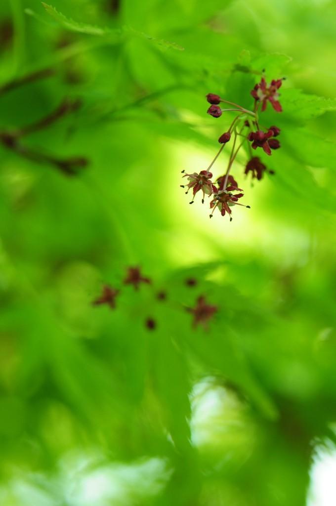 もみじの花
