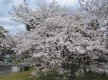 附属病院構内の桜-03
