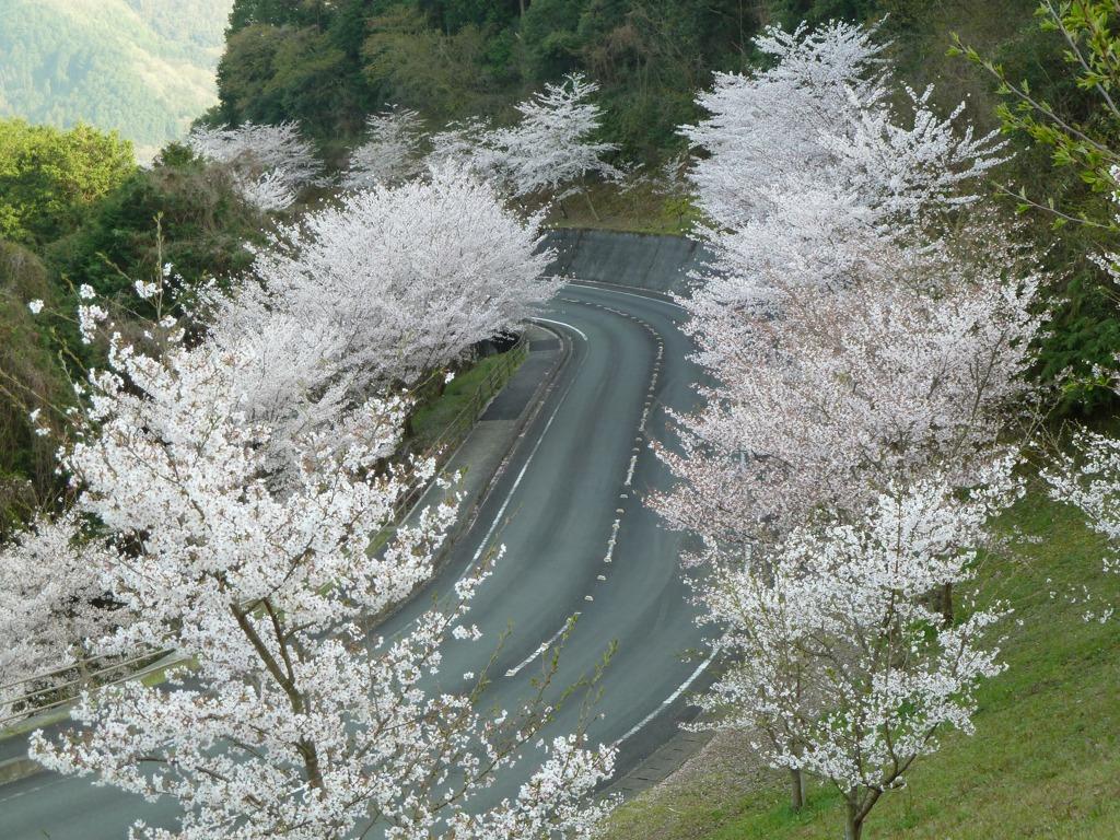 冨士山(とみすやま)公園の桜-11