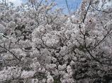 附属病院構内の桜-02