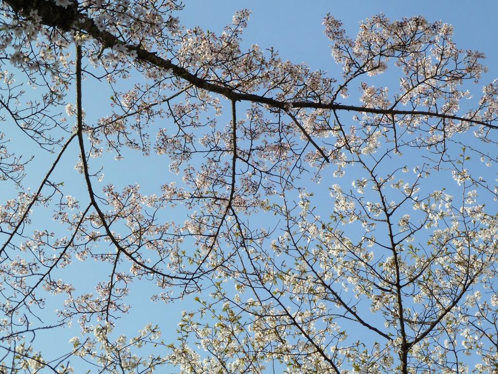 冨士山(とみすやま)公園の桜-10