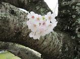 附属病院構内の桜-01
