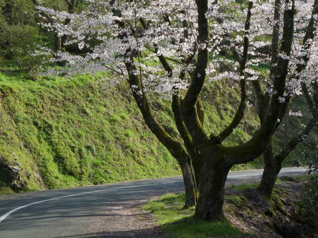 冨士山(とみすやま)公園の桜-7
