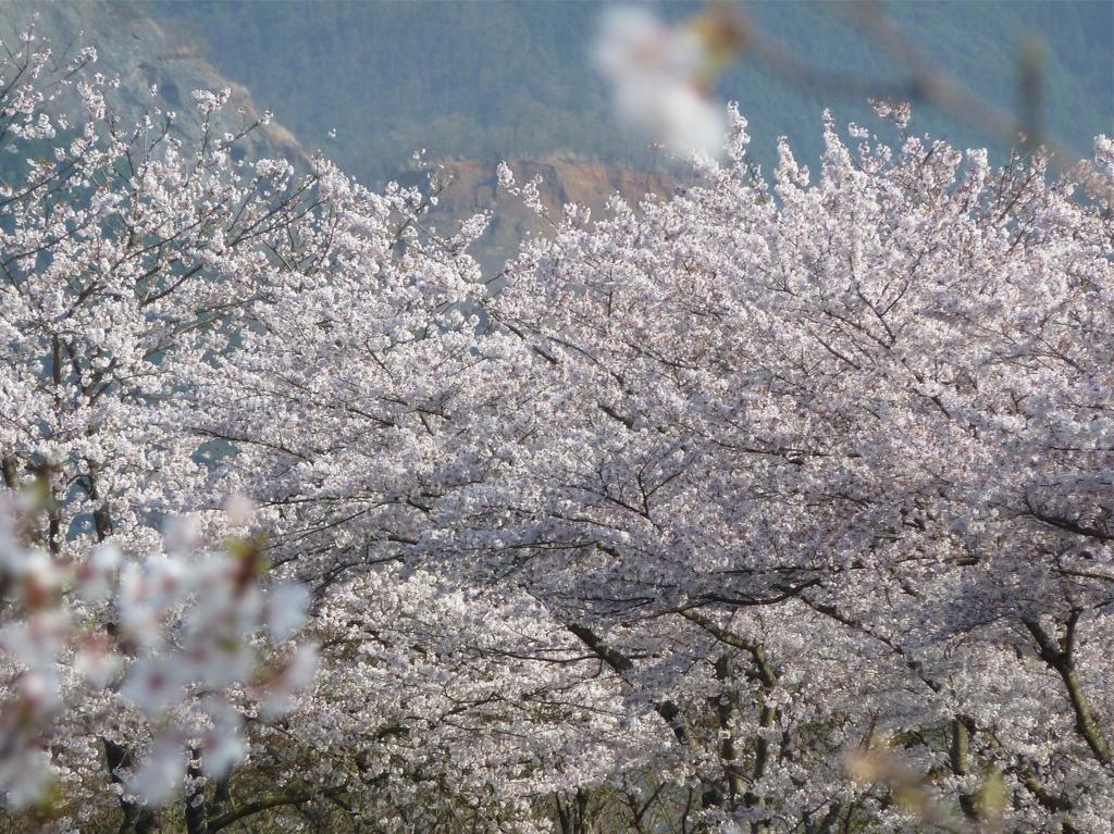 冨士山(とみすやま)公園の桜-1