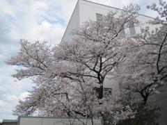 附属病院構内の桜-05