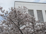 附属病院構内の桜-07
