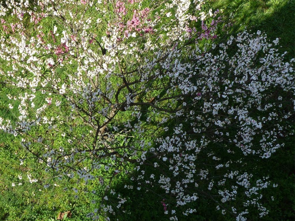 冨士山(とみすやま)公園の桜-3