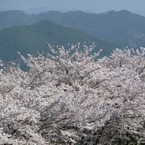 冨士山(とみすやま)公園の桜-2