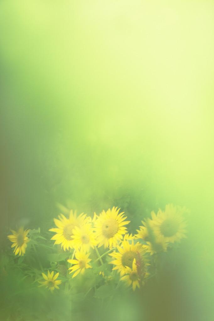 ひまわりの咲く頃