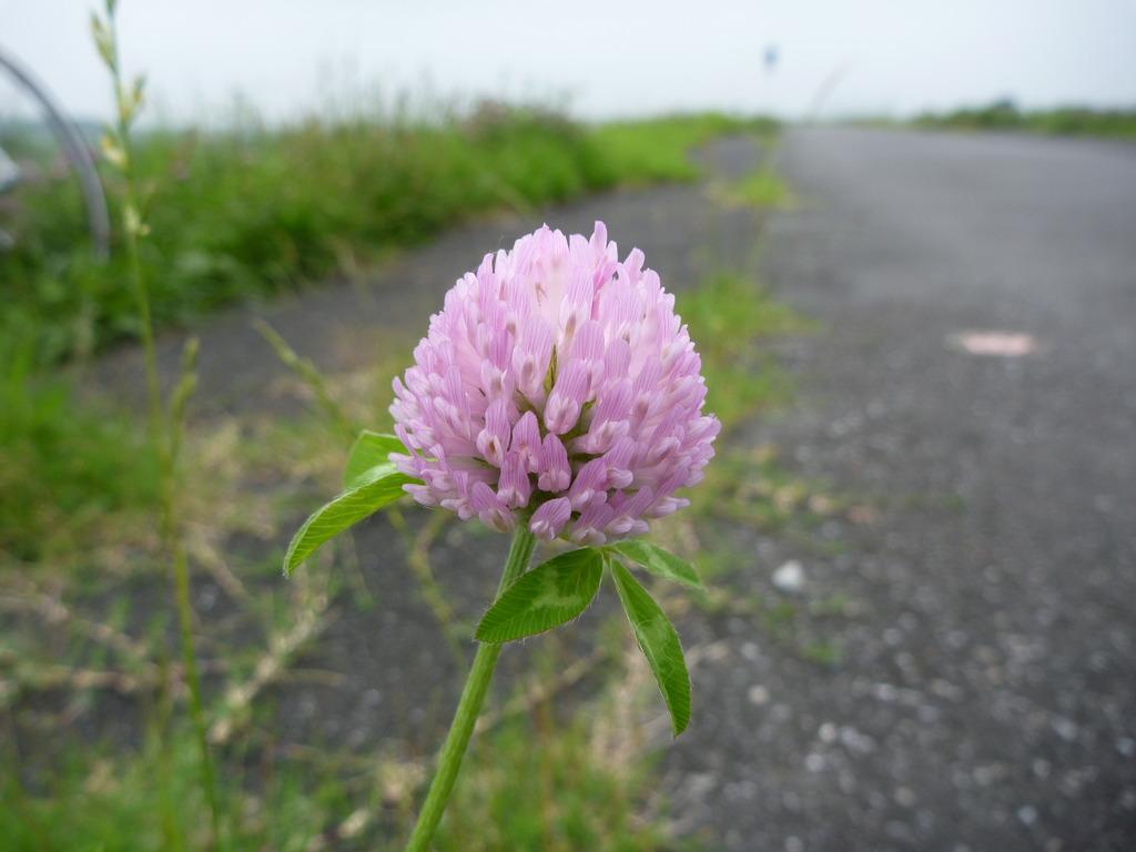 利根川サイクリングロードの花